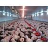 安全的肉雞自動化喂料機——供應山東熱銷肉雞自動化喂料機