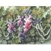 壽光水彩葡萄,搶手的水彩葡萄供應商——紫玉軒