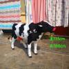 仿真奶牛模型 真皮奶牛標本
