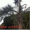 古树防雷措施 古树名木的防雷衣 特种防雷资质河南扬博避雷公司