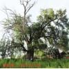 0.5欧姆防雷接地电阻古树名木防雷要求河南扬博升降避雷针厂家