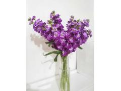 FlowerPlus ——紫羅蘭的傳說和花語
