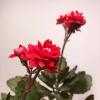 FlowerPlus花加:長壽花的盆栽養殖攻略